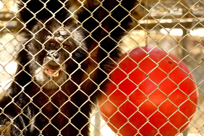 """The fates of the chimpanzees are uncertain because reputable sanctuaries willing to take them lack the funding needed to give the animals permanent new homes, officials say. <span class=""""copyright"""">(Genaro Molina / Los Angeles Times)</span>"""