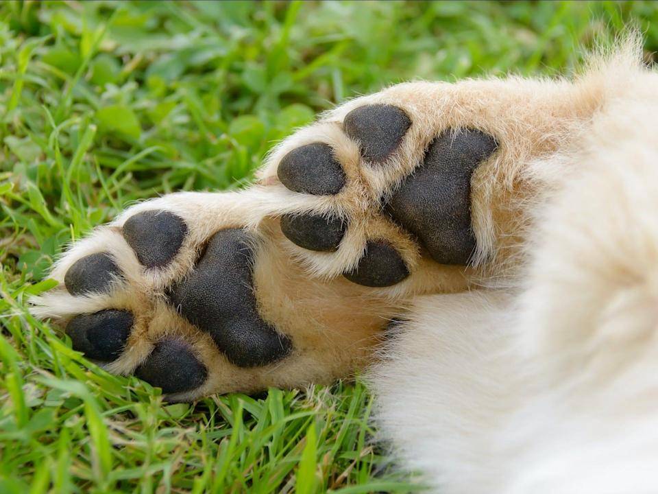 dog feet paws toe beans paw pads