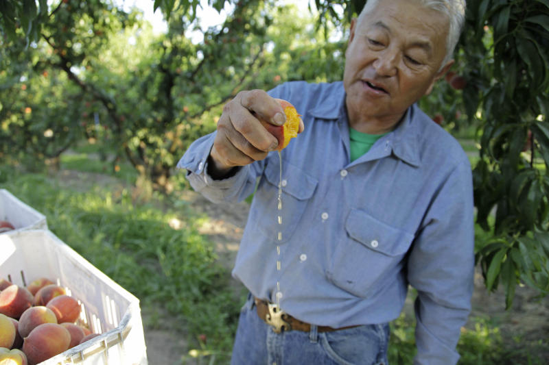In this photo taken on Friday, June 7, 2013, farmer David Mas Masumoto squeezes a freshly harvested peach in his orchard in Del Rey, Calif. Masumoto, who farms 35 acres of organic peaches and nectarines and has just co-authored a cookbook with his wife and daughter, says Americans have forgotten what a juicy, gushy peach tastes like in the era of corporate farming. (AP Photo/Gosia Wozniacka)