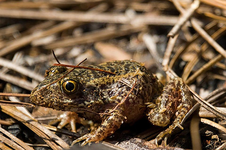 """This gopher frog is one of 144 recently released after being given a """"Head Start"""" at Columbia's Riverbanks Zoo."""