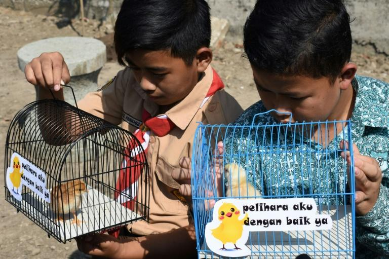 Authorities in the city have dubbed the unusual project 'chickenisation' (AFP Photo/TIMUR MATAHARI)