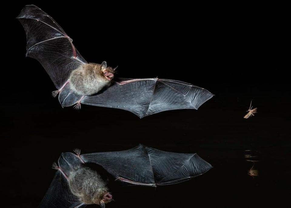 From bats to hedgehogs, butterflies to bumblebees, iconic species of British wildlife could face extinction within a decade if action is not taken to halt their decline (Getty Images/iStockphoto)