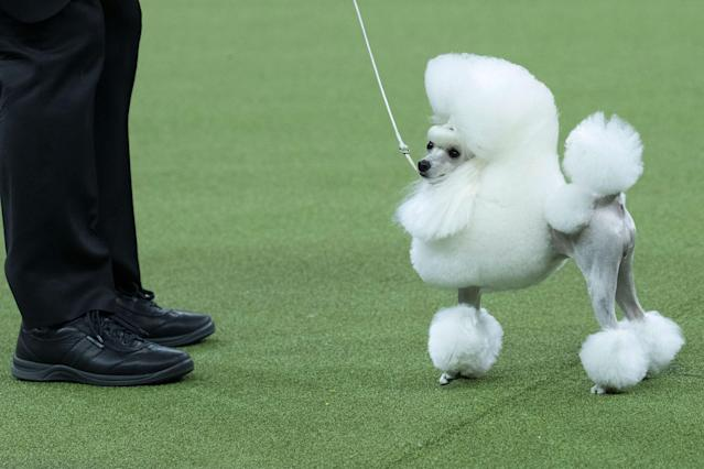 <p>Cami, a toy poodle, competes in the Toy group during the 142nd Westminster Kennel Club Dog Show, Monday, Feb. 12, 2018, at Madison Square Garden in New York. (Photo: Mary Altaffer/AP) </p>