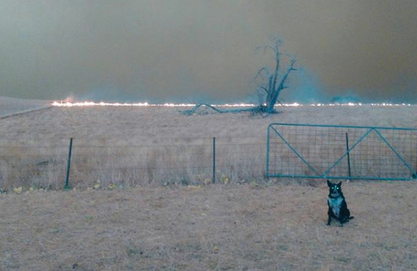 Patsy directed a flock of sheep to safety as the fires hit Corryong on New Year's Eve. Source: Instagram/@Patsythecorryongwonderdog