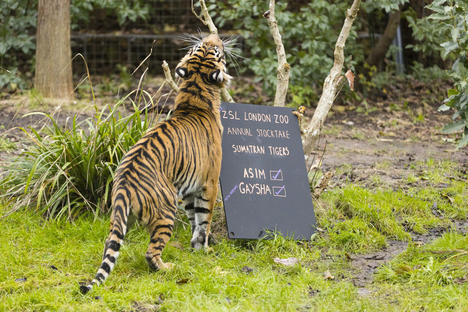 The tigers were present and correct (ZSL London Zoo)