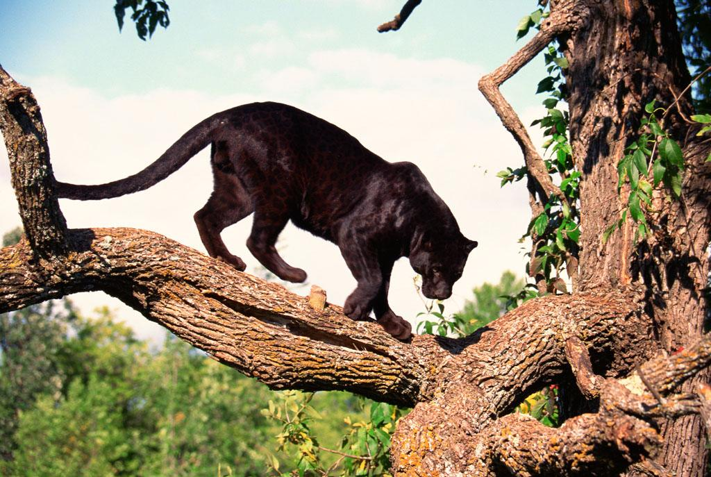 "A black leopard on ""Attack of the Big Cats."""