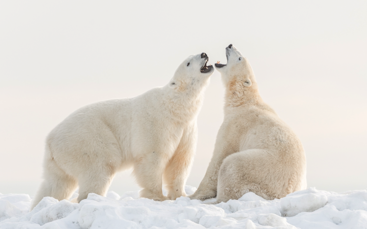 Polar Bears are becoming increasingly threatened by global warming (Picture: REX Features)