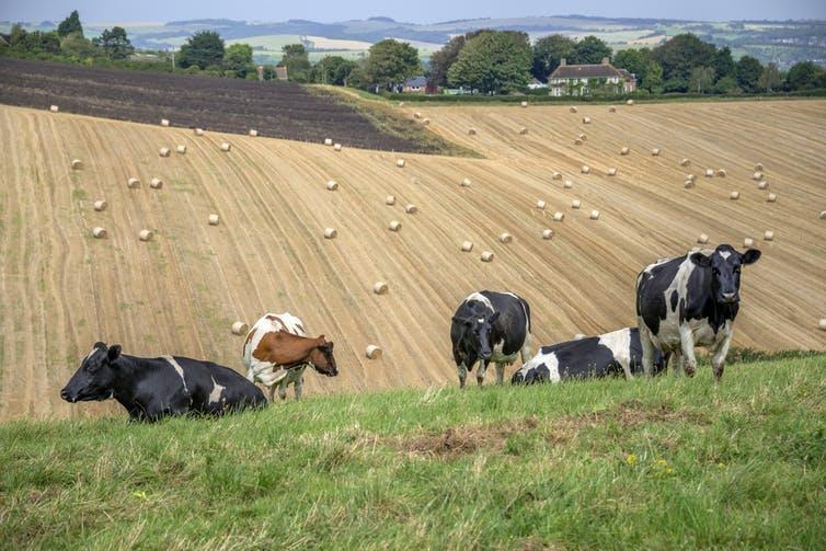 A herd of dairy cows stands on a grassy hill with a rolling field of hay behind.