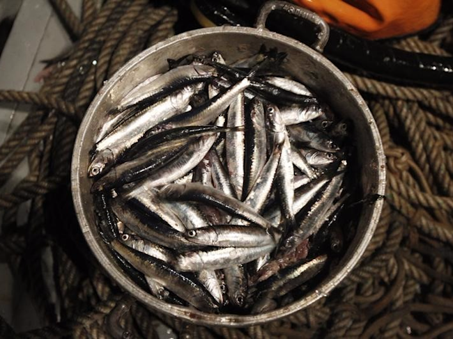 File photo of a pot filled with anchovies is seen aboard a fishing boat at the Pacific Ocean, off of Peru's northern port of Chimbote, December 14, 2012. REUTERS/Enrique Castro-Mendivil