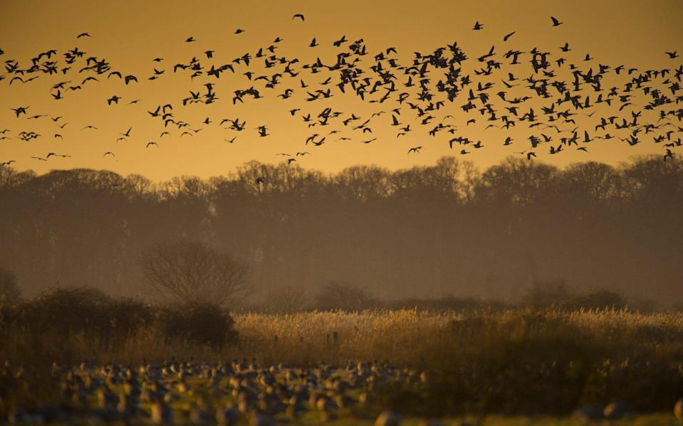 A flock of pink-footed geese - Getty