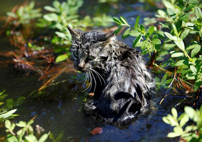 <p>A cat sits in the flooding waters from Hurricane Matthew in downtown Nichols, South Carolina, October 10, 2016. (REUTERS/Randall Hill) </p>