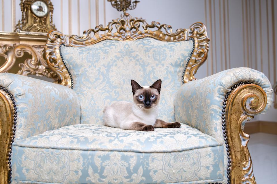Beautiful rare breed of cat Mekongsky Bobtail female pet cat without tail sits interior of European architecture