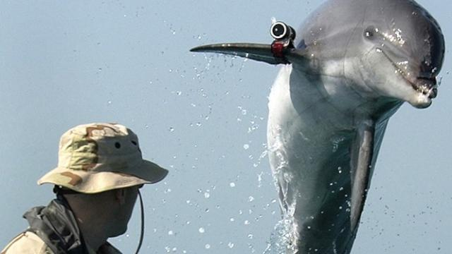 'Killer' Military Dolphins Go AWOL for Love? Maybe Not
