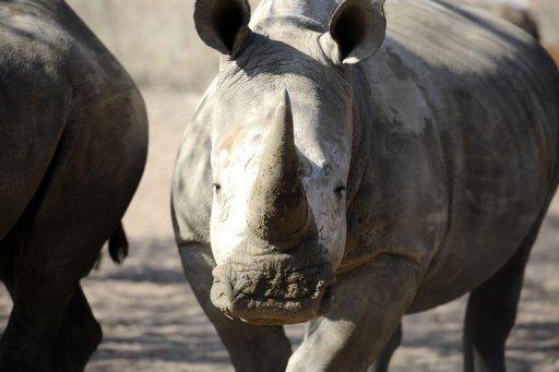 South African officials say 528 rhinos have been killed this year