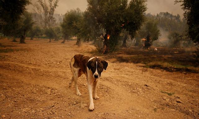 <p>A dog walks near a tree burning in the village of Carvoeiro, near Castelo Branco, Portugal, July 25, 2017. (Rafael Marchante/Reuters) </p>