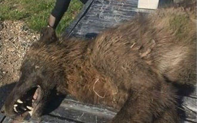 'Wolf-like' creature shot near Montana ranch puzzles experts - MONTANA FISH, WILDLIFE AND PARKS