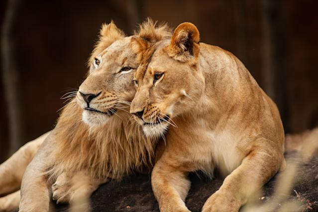 Male and Female Lions lying down together on the ground