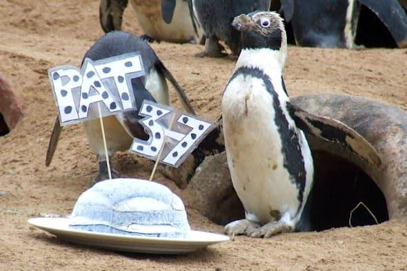 Britain's oldest penguin gets a birthday treat