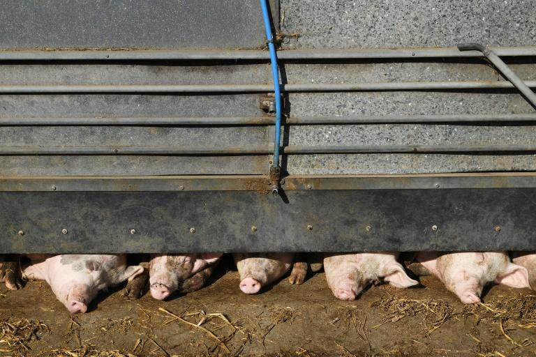 Pig farmers say they will be forced to cull their livestock because of a lack of butchers and abbatoir workers (AFP/DANIEL LEAL-OLIVAS)