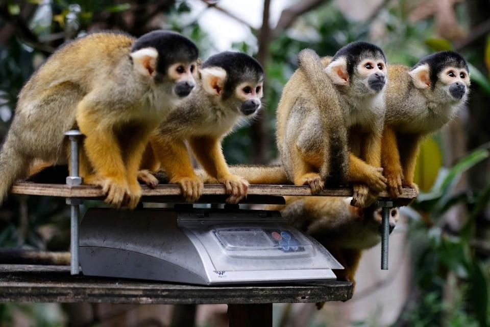 Keepers had to coax the troop of Bolivian black-capped squirrel monkeys onto the scales one by one by offering snacks (AFP via Getty Images)