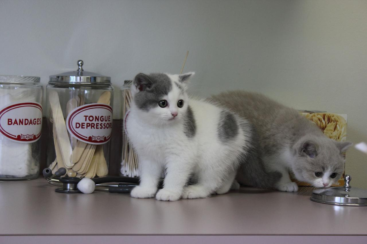 "Two British Shorthair kittens featured on Animal Planet's ""Too Cute! Kittens."""