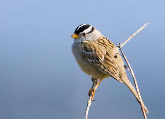 The white-crowned sparrow aims to sound irresistible.