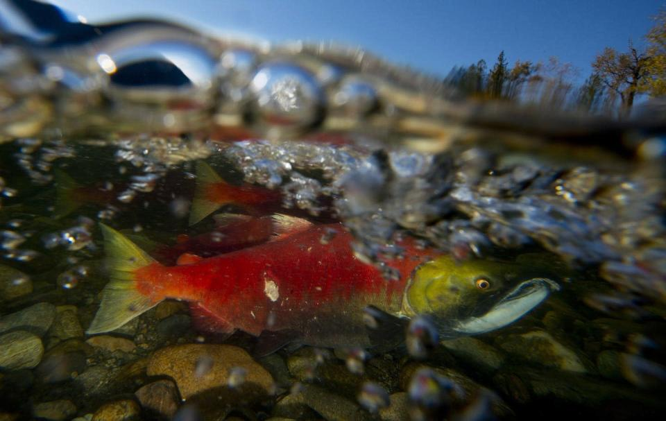 A red and gold salmon swimming