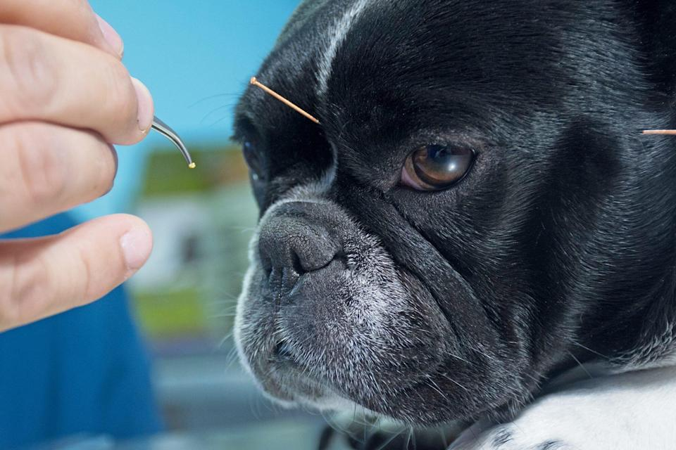dog receiving acupuncture
