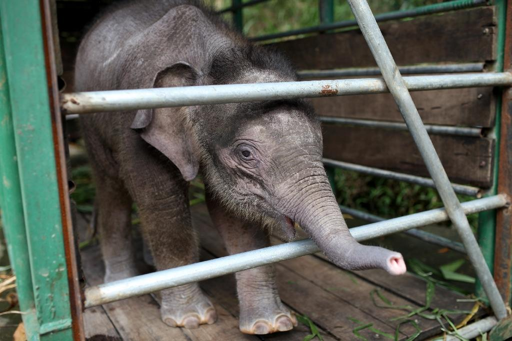 An orphaned three-month-old pygmy elephant pictured inside a temporary holding cage in Sabah in 2013 (AFP Photo/MOHD RASFAN)