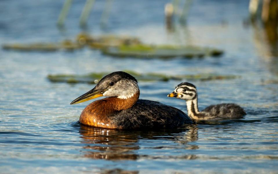 Red-necked grebe - Getty