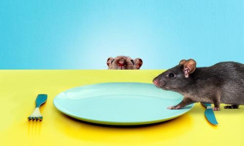 Summer of the cannibal rats! Hungry, aggressive, highly fertile – and coming to our homes