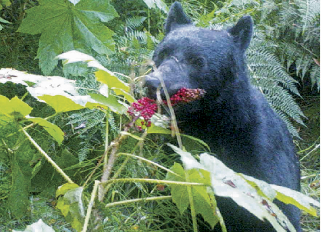 In this 2014 image from a remote camera trap provided by Taal Levi, a black bear eats devil's club berries near Haines, Alaska. A study of bears and berries has determined that the big animals are the main dispersers of fruit seeds in southeast Alaska. The study by Oregon State University researchers says it's the first instance of a temperate plant being primarily dispersed by mammals through their excrement rather than by birds. (Taal Levi and Laurie Harrer via AP)