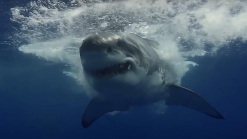 A great white shark swims towards the camera and leaves a wake of waves behind him