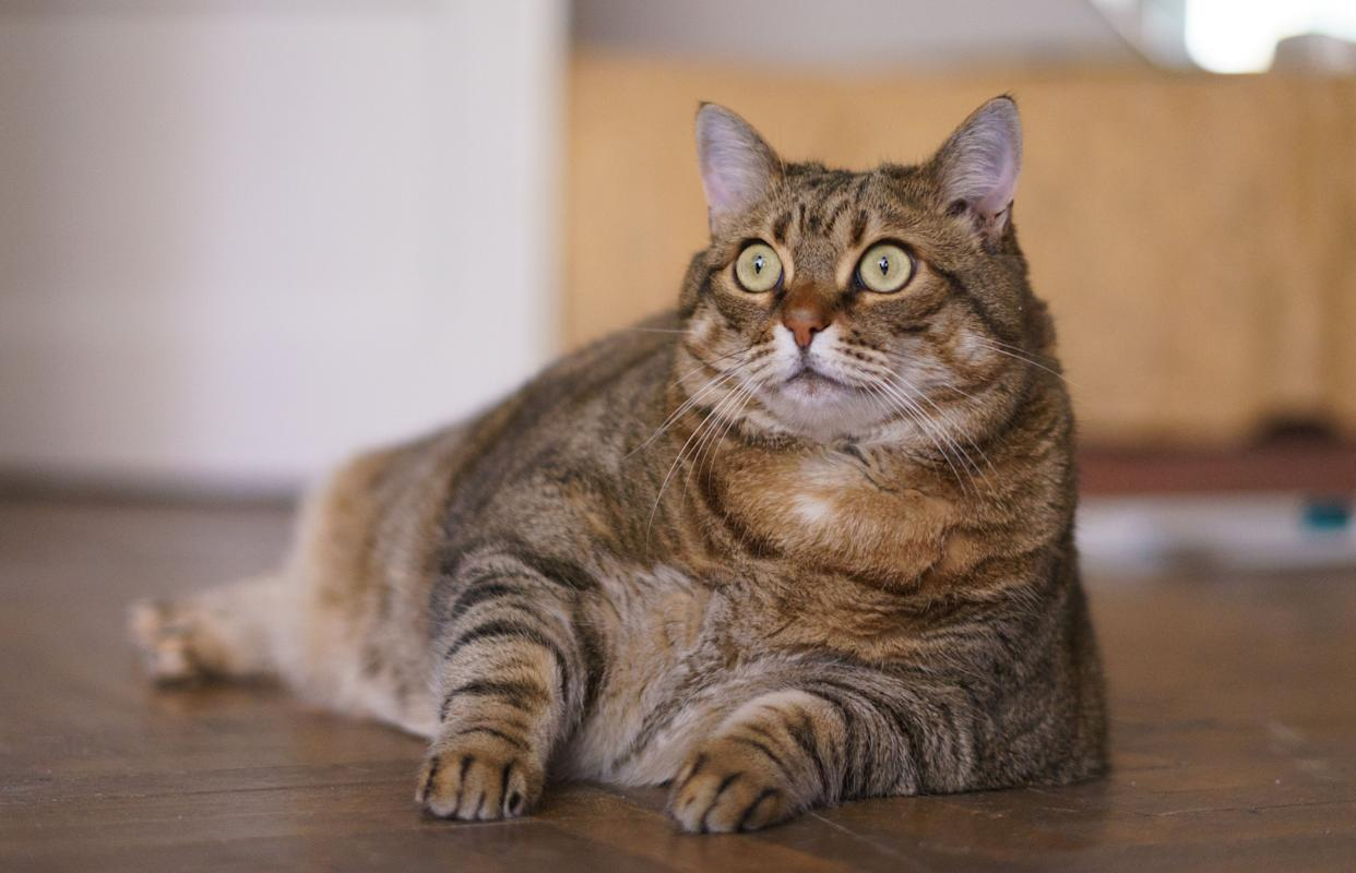 A cat that resembles (but is not actually) Viktor. (Photo: Andrei Spirache via Getty Images)