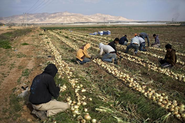 In this Thursday, Jan. 9, 2014 photo, Palestinian farmers cut onions at a field belong to Jewish settlers, just outside the West Bank Jordan valley Jewish settlement of Tomer. For Israeli farmers in the West Bank's Jordan Valley, an international campaign to boycott settlement products has turned almost overnight from a distant nuisance into a harsh economic reality. The export-driven income of growers in the valley's 21 settlements dropped by 15 percent, or $29 million dollars, last year because Western European supermarket chains trying to avoid political entanglements largely stopped buying the valley's grapes, dates and sweet peppers. (AP Photo/Oded Balilty)