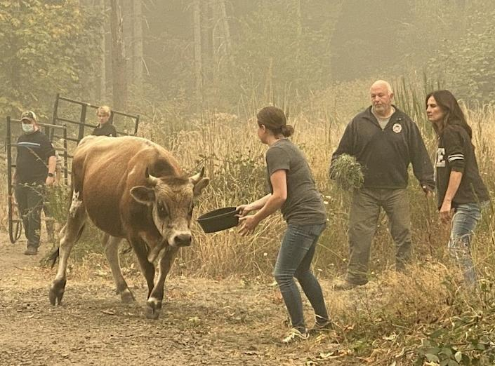 "Animal rescuers coax a bull to safety as a wildfire advances near Molalla, Ore. <span class=""copyright"">(Richard Read / Los Angeles Times)</span>"