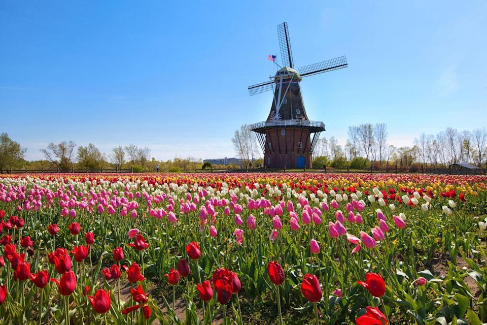 """<p>Holland in Michigan lives up to its namesake city in Amsterdam. The Michigan city was heavily influenced by Dutch culture after many Dutch immigrants settled there in the 1800s. Not only is it <a href=""""https://www.michigan.org/article/trip-idea/take-look-inside-dezwaan-windmill-holland-michigan"""" rel=""""nofollow noopener"""" target=""""_blank"""" data-ylk=""""slk:home to the only working Dutch windmill in the US,"""" class=""""link rapid-noclick-resp"""">home to the only working Dutch windmill in the US,</a> but there's also a <a href=""""https://www.holland.org/events/tulip-festival"""" rel=""""nofollow noopener"""" target=""""_blank"""" data-ylk=""""slk:Tulip Time Festival"""" class=""""link rapid-noclick-resp"""">Tulip Time Festival</a> there every year. </p>"""