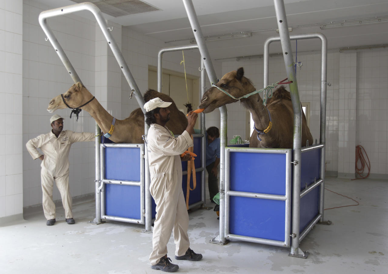 FILE - In this Wednesday, July 3, 2013 file photo, an employee feeds a camel a carrot at the Camelicious milk farm in Dubai, United Arab Emirates. Scientists have found a clue that suggests camels may be involved in infecting people in the Middle East with the MERS virus. In a preliminary study published on Friday, Aug. 9, 2013, European scientists found traces of antibodies against the MERS virus in dromedary, or one-humped, camels, but not the virus itself. (AP Photo/Kamran Jebreili, File)