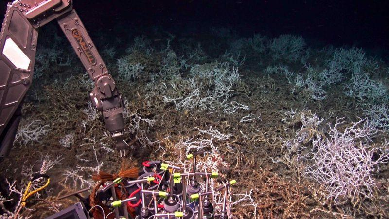 Scientists aboard the research ship Atlantis have discovered a dense coral reef off the coast of South Carolina. This picture was takenFridayby cameras mounted on the deep-sea submersible Alvin. (Woods Hole Oceanographic Institution)