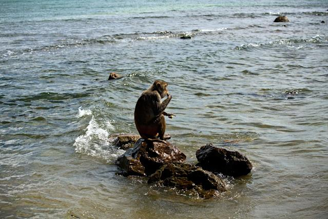 <p>A monkey eats atop a rock off of Cayo Santiago, known as Monkey Island, in Puerto Rico on Oct. 4, 2017. The island's history as a research center dates to 1938, when the man known as the father of American primate science brought a population of Indian rhesus macaques to the United States. (Photo: Ramon Espinosa/AP) </p>