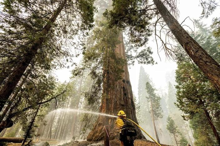 A firefighter hoses down hot spots around a sequoia tree in the Trail of 100 Giants of Sequoia National Forest, Calif., as the Windy Fire burns on Monday, Sept. 20, 2021. According to firefighters, the tree sustained fire damage when the fire spotted into its crown. (AP Photo/Noah Berger)