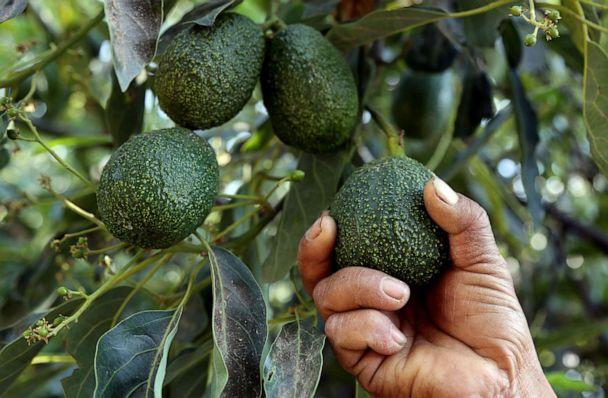 PHOTO: A farmer works at an avocado plantation in El Carmen ranch in the community of Tochimilco, Puebla State, Mexico, on April 5, 2019. (Jose Castanares/AFP/Getty Images, FILE)