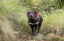 Packs of dingoes are believed to have wiped out Tasmanian devils on the mainland 3,000 years ago