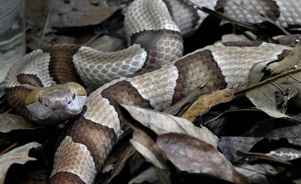 A copperhead watches visitors from its habitat at the N.C. Museum of Natural Sciences in Raleigh.