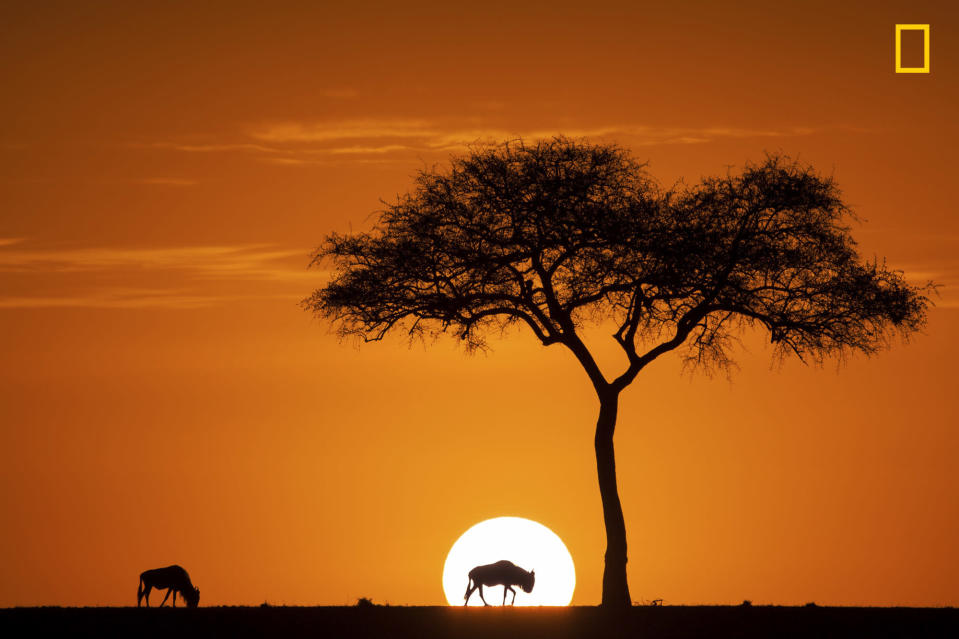 <p>During the months of August and September, there are millions of wildbeast, zebra, and other animal in Maasia Mara game reserve. On a September morning, a wild beast eating glass intersected the sun coming out of the horizon. (Jay Ruan/National Geographic Nature Photographer of the Year contest) </p>