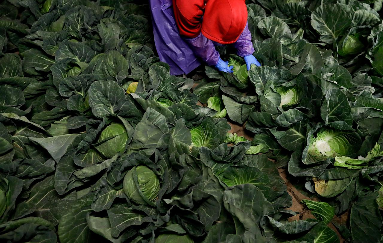 <p>Farmworker Elias Solis, of Mexicali, Mexico, picks cabbage before dawn in a field outside of Calexico, Calif., March 6, 2018. (Photo: Gregory Bull/AP) </p>