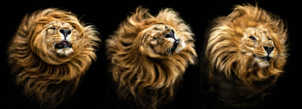 A sequence of a lion shaking its mane. (Photo: Pedro Jarque Krebs/Caters News)