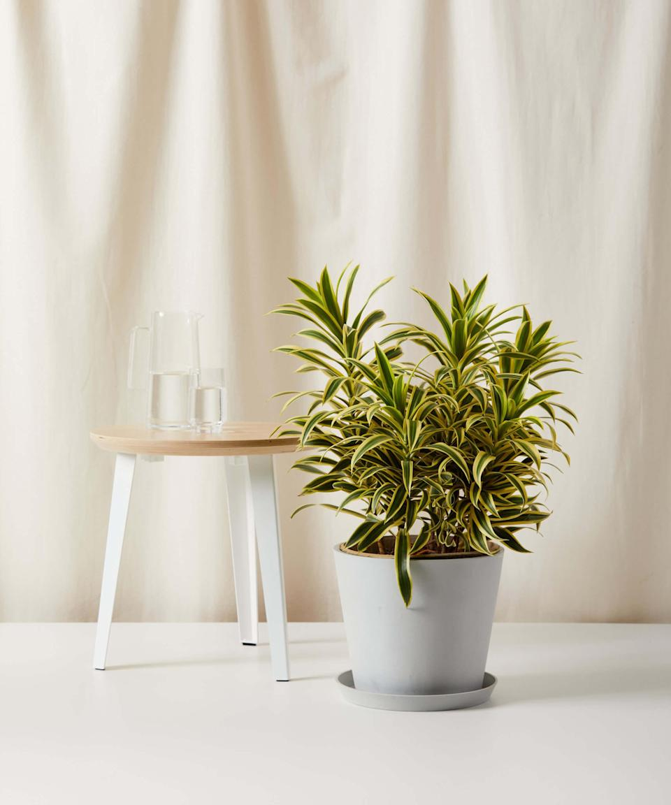 """<strong><h2>Dracaena Limelight</h2></strong><br>If you're struggling with a space that doesn't get a lot of natural light, Mast recommends the Dracaena Limelight. """"This bright, lush plant is incredibly easy to care for and thrives in low light conditions,"""" she shares.<br><br><em>Shop</em> <strong><em><a href=""""http://bloomscape.com"""" rel=""""nofollow noopener"""" target=""""_blank"""" data-ylk=""""slk:Bloomscape"""" class=""""link rapid-noclick-resp"""">Bloomscape</a></em></strong><br><br><strong>Bloomscape</strong> Dracaena Song of India, $, available at <a href=""""https://go.skimresources.com/?id=30283X879131&url=https%3A%2F%2Fbloomscape.com%2Fproduct%2Fdracaena-song-of-india%2F"""" rel=""""nofollow noopener"""" target=""""_blank"""" data-ylk=""""slk:Bloomscape"""" class=""""link rapid-noclick-resp"""">Bloomscape</a>"""