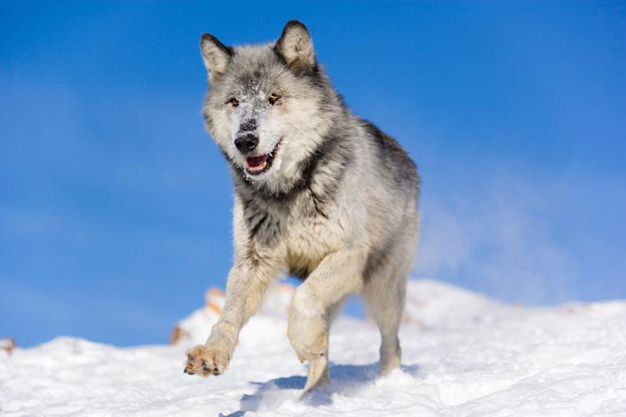 Gray or timber wolf (Canis lupus) is running on a snow covered slope, captive
