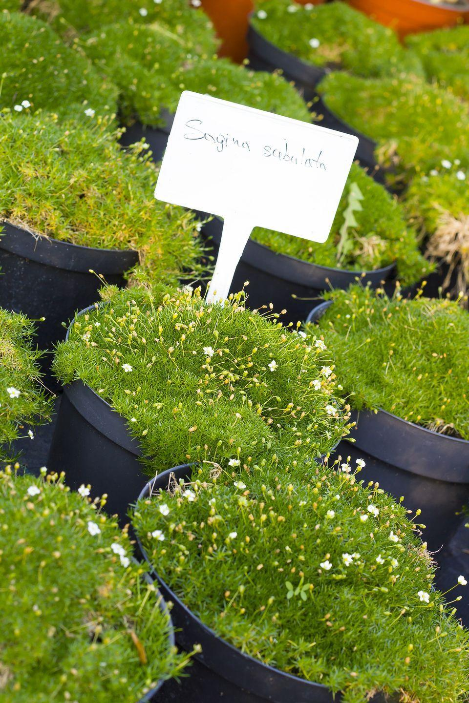"""<p>The super soft moss-like foliage of this low-growing plant form a dense mat that's beautiful most of the year. In the spring, minuscule daisy-like flowers pop up, adding to its charm. Irish moss is perfect edging walks or in between stepping stones for an English country garden feel. This lush most requires part to full sun to thrive.</p><p><a class=""""link rapid-noclick-resp"""" href=""""https://www.bluestoneperennials.com/SASU"""" rel=""""nofollow noopener"""" target=""""_blank"""" data-ylk=""""slk:SHOP IRISH MOSS"""">SHOP IRISH MOSS</a></p>"""